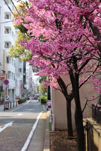 横浜 桜 オススメ 公園 スポット