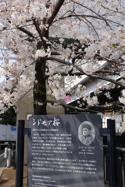 横浜 桜 さくら スポット 名所 元町